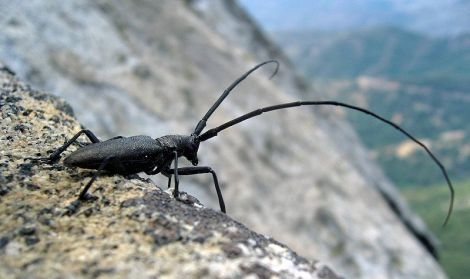 800px-Longhorn_Beetle_Whitespotted_Sawyer_USA